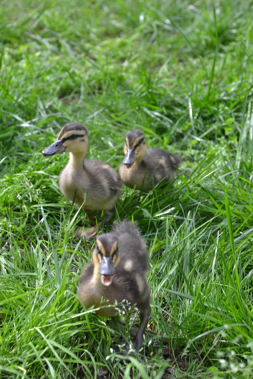 grass stained knees how are the ducklings