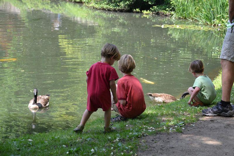 Feeding geese
